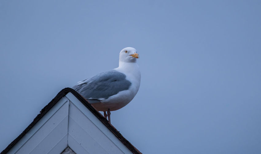 Animal Themes Animal Wildlife Animals In The Wild Bird Day Looking Up Nature No People One Animal Outdoors Perching Perching Bird Ring-billed Seagull Rooftop Rooftops Seagull Seagulls The Week On EyeEm Wildlife Wildlife Photography Perspectives On Nature