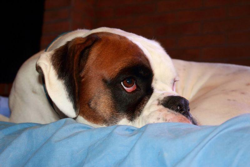 Joy Boxerdog