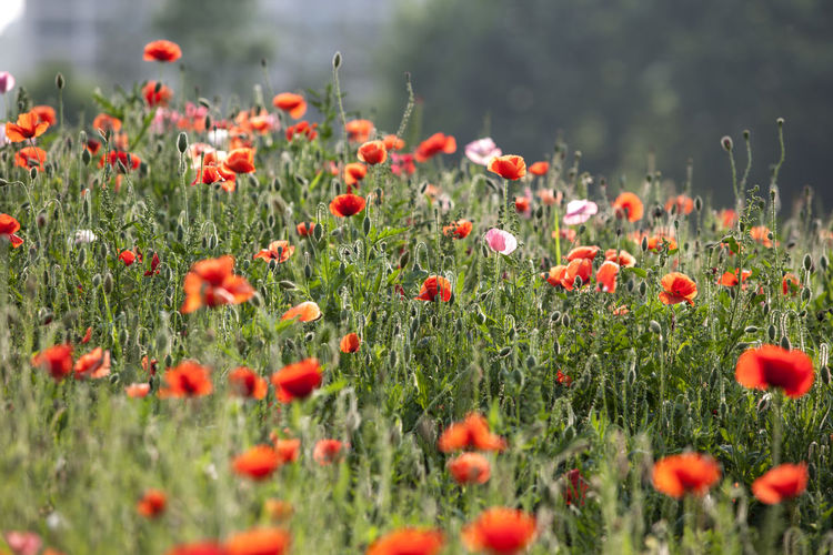 Red poppies blooming outdoors