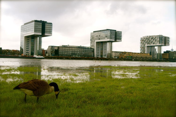 Why take the long journey to the south, it's still warm here (kind of). Architecture Building Exterior Built Structure Cologne Flooded Goose How Do You See Climate Change? Kranhäuser Köln Nature Nature Vs City No People Outdoors Rhein Rheinufer River Urban Urban Nature Water