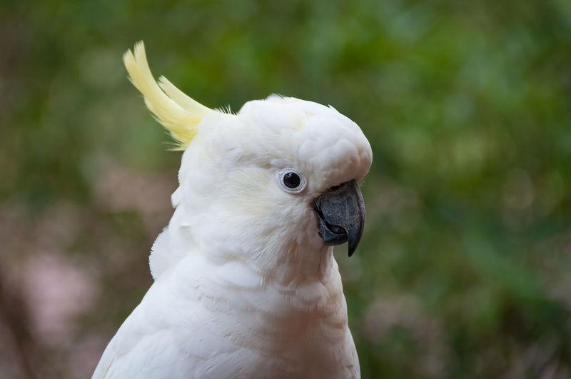 Close-up portrait of sulphur crested cockatoo