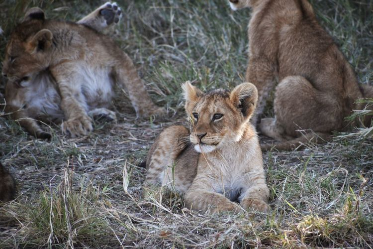 Mammal Animal Themes Feline Cat Animal Lion - Feline Animal Wildlife Group Of Animals Animals In The Wild Relaxation Young Animal Lion Cub Cub Lioness Grass No People Female Animal Day Land Outdoors Animal Family