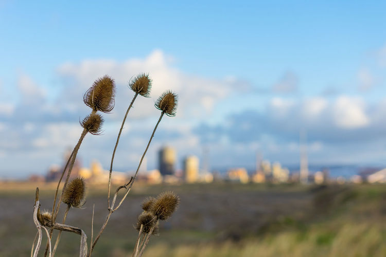 South Gare. Redcar. England. Sky Nature No People Outdoors Uk England Redcar Teesside Yorkshire North Yorkshire South Gare Europe European  North East North East England Plant Flower Growth Flowering Plant Beauty In Nature Field Focus On Foreground Land Day Fragility Close-up Vulnerability  Landscape Tranquility Thistle Plant Stem Flower Head