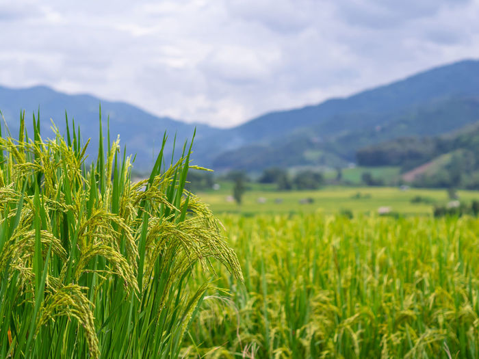 Close-Up Of Rice Paddy. Growth Agriculture Landscape Field Plant Crop  Land Green Color Rural Scene Beauty In Nature Farm Environment Scenics - Nature Cereal Plant Tranquility Tranquil Scene Nature Sky Mountain Day No People Outdoors Plantation Rice Field Nature Photography