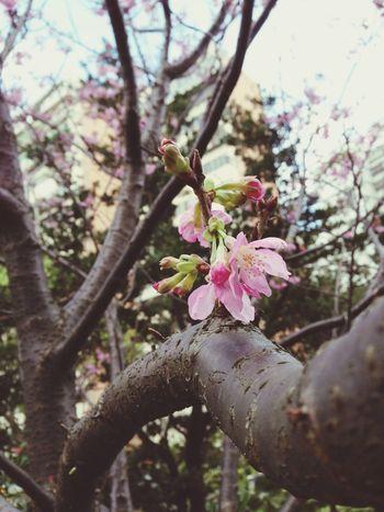 今年也算是拍了櫻花!