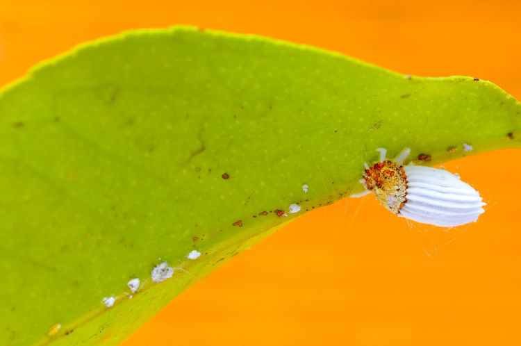 Cottony cushion scale insect (Icerya purchasi) on a lemon leaf with orange artificial background Animals In The Wild Biology Close-up Cochineal Entomology Fruit Icerya Purchasi Insect Leaf Leaf 🍂 Lemon Leaf Macro Macro Photography Nature No People Scale Insects