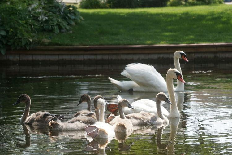 Swan Swans Bird