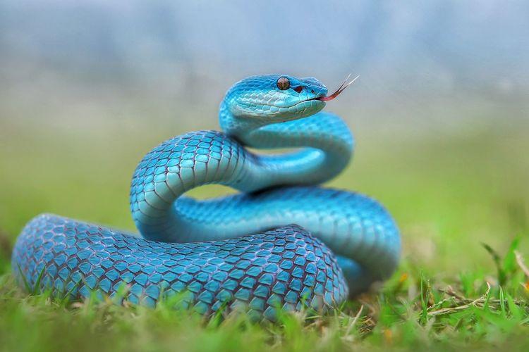 Blue insularis snake tree pit viper