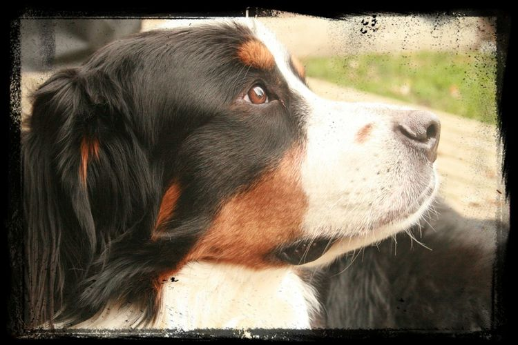 Bernese Mountain Dog Named After Trent Reznor (Reznor - Aug 2013)