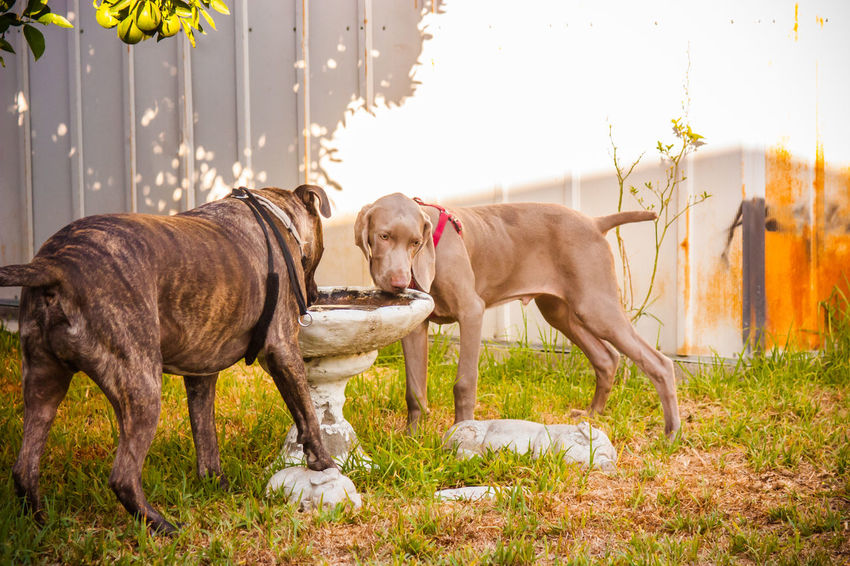 Animal Animal Themes Canine Dog Dog Life Dog Love Dog Lover Doggy Doglife DogLove Doglover Dogoftheday Dogs Dogs Of EyeEm Dogs Playing  Dogs Playing Together Dogslife Dogsofinstagram Dogstagram Dog❤ Domestic Animals German Weimaraner Outdoor Playtime Outdoors Playing Outside