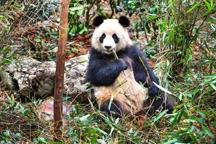 Giant panda eating bamboo in China Animal Wildlife Mammal Animals In The Wild Panda - Animal Bear Plant One Animal Vertebrate Sitting Nature Day No People Eating Land Giant Panda Tree Bamboo - Plant Zoo Outdoors Panda Giant China Chengdu Conservation Area Eating