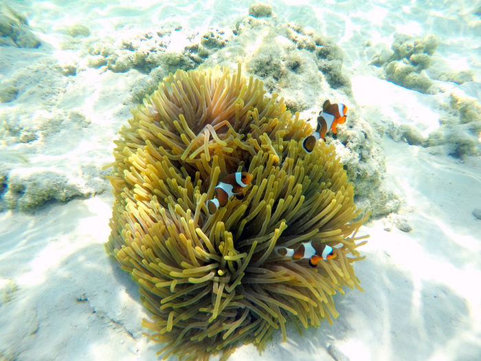 Underwater Sea Animal Wildlife Animals In The Wild Water UnderSea Sea Life Animal Themes Animal Invertebrate Coral Marine Nature No People One Animal Beauty In Nature Fish Swimming Close-up Outdoors Ecosystem  Anemone Fish Anemone