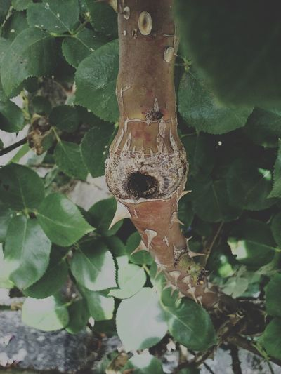 Thorns Tree