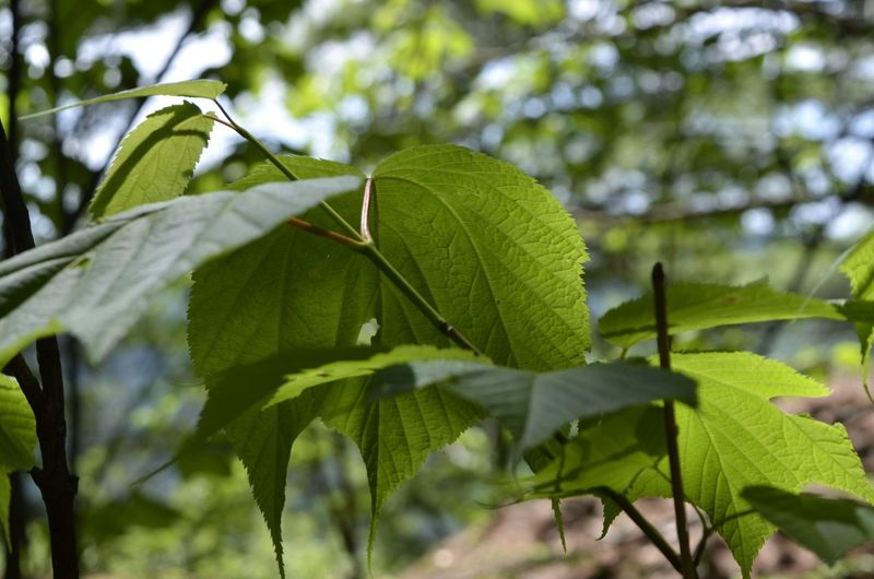 Tree Tea Crop Leaf Branch Close-up Plant Green Color Leaf Vein Photosynthesis Growing Relaxed Moments Plant Life