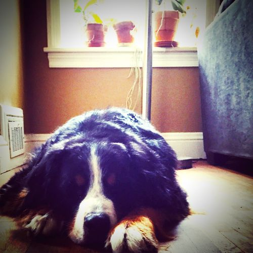 Berner Bernese Mountain Dog Bernesemountaindog Bernie Paws Missing You Missingsomeone Missingsomebody Missingyou Check This Out