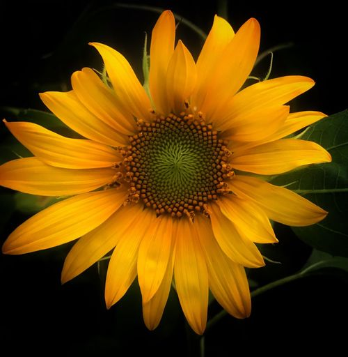 Sunflower that grow in my backyard Flower Flowering Plant Flower Head Plant Freshness Fragility Yellow Petal Outdoors Macro Sunflower Growth Close-up Nature