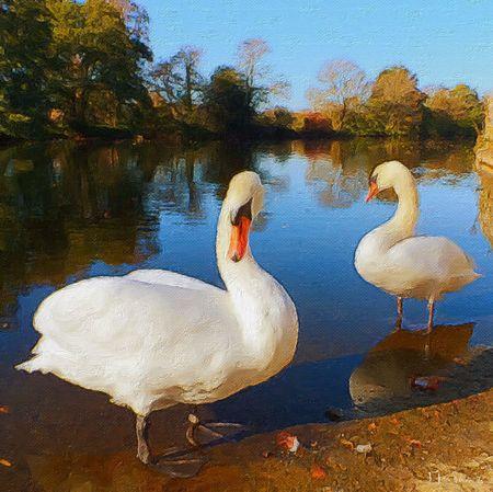 Petits Cygnes devenus grands Cygne Oiseaux Cygnes Birds Au Bord De L'eau I Love My City Autumn Colors Couleur D'automne Charente Dans Ma Ville