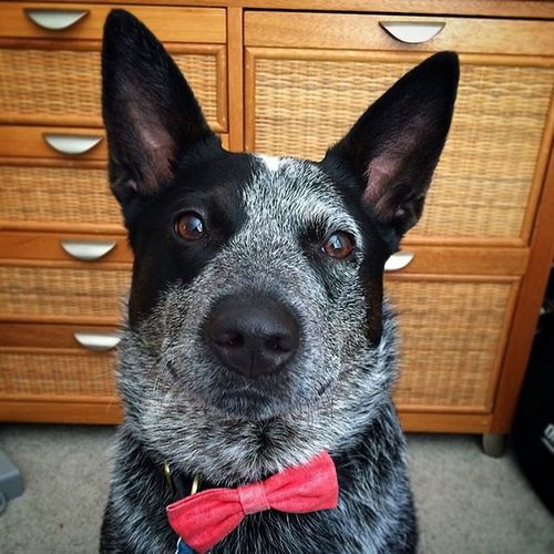 Peter is ready for the day. Dogs are funny 🐶 Mightypete Dogs Dogsofinstagram Bowtie Fancy Saturday Australiancattledog Blueheelers VSCO