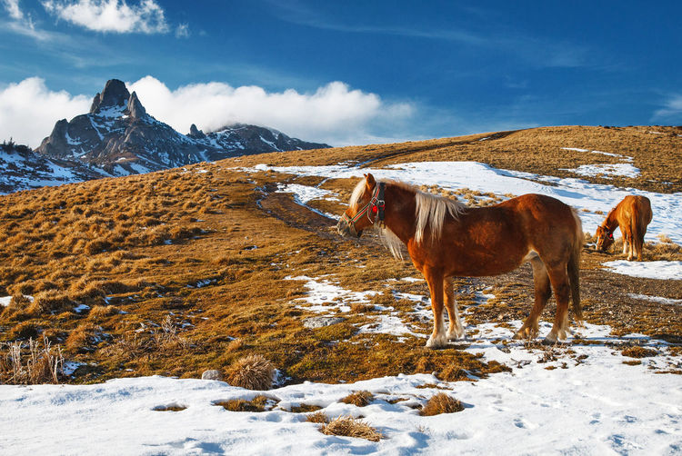 Horses from Ciucas Mountains, Romania. Blonde Farm Field Nature Red Rural Animal Animal Themes Beauty Blue Sky Cloud - Sky Cold Temperature Domestic Animals Horse Landscape Mammal Mountain Mountain Range Outdoor Pair Snow Snowcapped Mountain Standing Two Winter