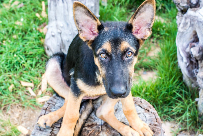 Alsatian Animal Animal Head  Animal Themes Black Color Close-up Dog Domestic Animals Field Focus On Foreground Grass Looking Looking At Camera Loyalty Mammal One Animal Pets Photography Portrait