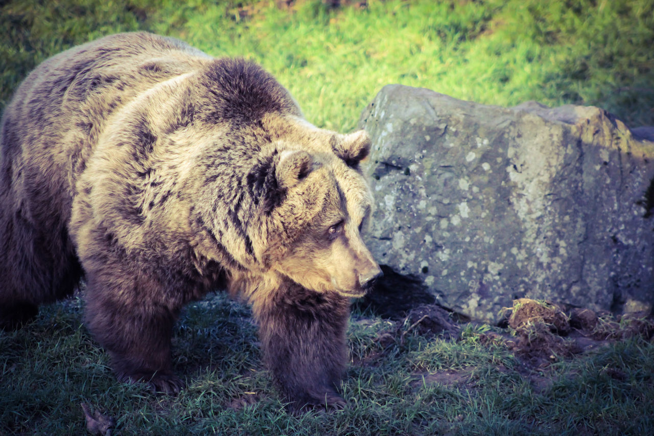 one animal, bear, animals in the wild, animal themes, animal wildlife, grizzly bear, no people, day, grass, outdoors, mammal, nature, close-up