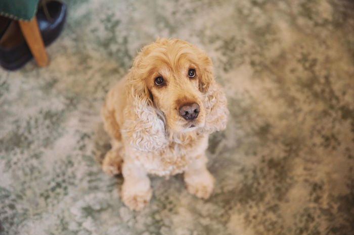 A cute friendly dog with big brown eyes Canine Domestic Pets Dog One Animal Domestic Animals Mammal High Angle View Looking At Camera Portrait Vertebrate Brown People Selective Focus Focus On Foreground Cute Day Cockerpoo Cute Pets