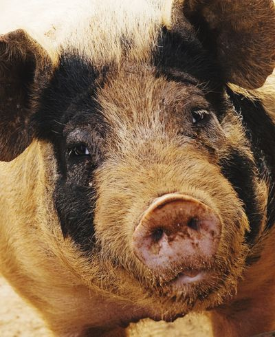Such a sweet face Pig Face Looking At Camera Animal Themes Piggy Love Farm Animals Piggy One Animal Cute Animals Pigs Pig Animal Pigs Life Pig Farm Waiting For Dinner Oink Oink