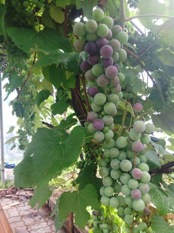 Grapes still green and need more sunshine to ripe🍇🍇🍇