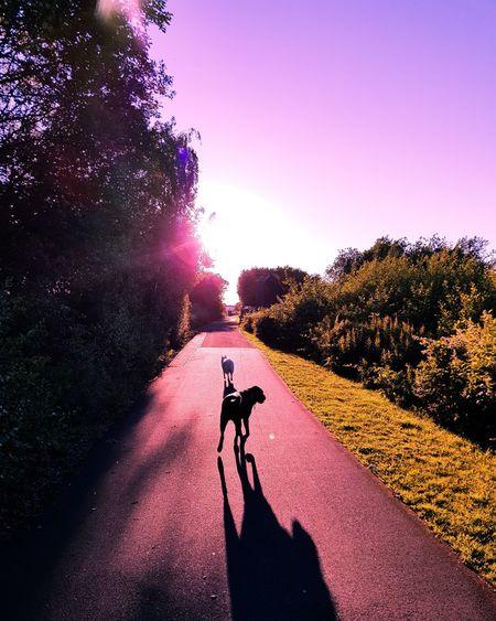 Japanesespitz LabradorRetriever Sunset Sunsets Photooftheday EyeEm Best Shots EyeEm Nature Lover EyeEm Gallery Pink Eyeeem Gallery EyeEm Shadow Silhouette Exercising Bicycle Sunlight