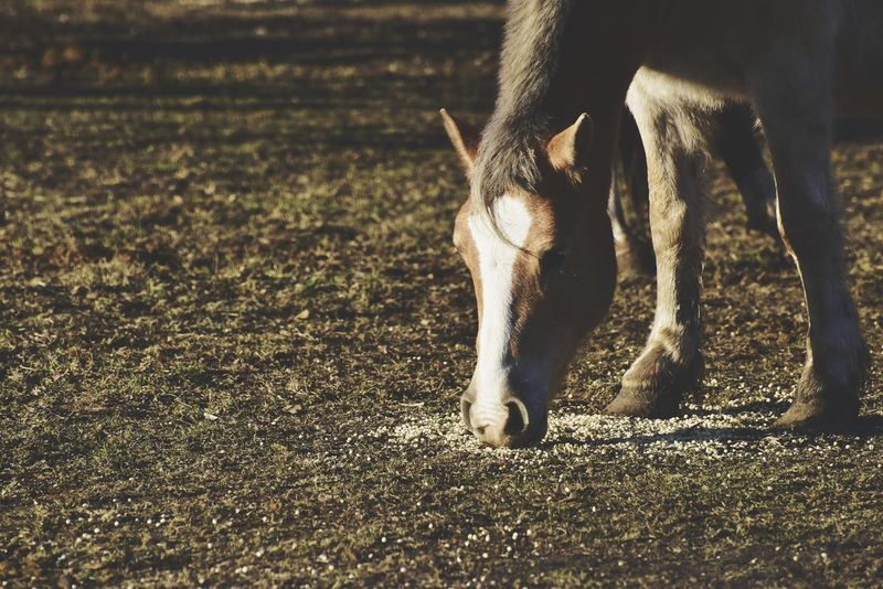 Feeding time in the morning One Animal Animals In The Wild Animal Themes Mammal Animal Wildlife Animal Safari Animals Outdoors No People Nature Day Domestic Animals Low Section Close-up Bradley Olson Bradleywarren Photography Room For Copy Galena, Illinois Copy Space Room For Text Background Country Grazing Horse Horses