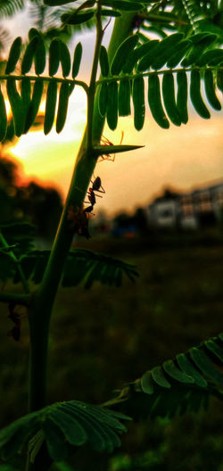 Candid shot of 🐜 Nature On Your Doorstep Naturelover Nature Photography Nature_collection Sunset_captures Nature Sunsetlover Sunset Silhouettes Sunsetporn Sunset_collection EyeEm Nature Lover Portrait Photography Tree Sunset Leaf Rural Scene Agriculture Sunlight Sky Close-up Plant Blooming Growing Young Plant Petal In Bloom Farmland Cultivated Land Stamen Fragility