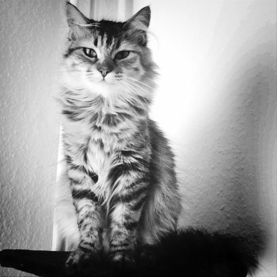 Lady like.... Cat Blackandwhite Emotions Mylove Spirituality Pets Corner Tabby Animal Hair At Home Adult Animal Animal Face