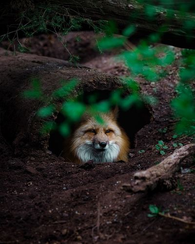Wolf looking away in forest