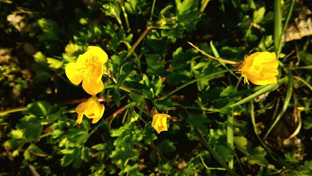 Spring Spring Flowers Yellow Flower Yelow Flowers Fresh Flowers First Flowers Of Spring First Flower Park Flowers First Eyeem Photo