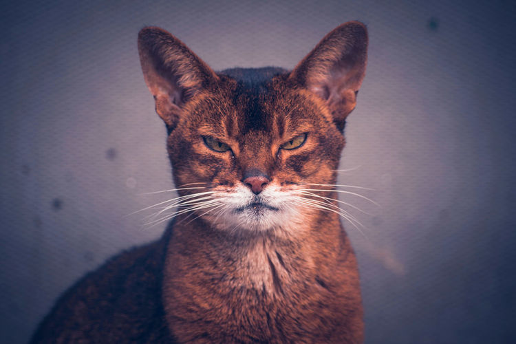 Angry Cat Animal Themes One Animal Close-up Looking At Camera Feline Animal Head  Beautiful Nature My Point Of View Nature Photography Wildlife & Nature EyeEm Nature Lover Animal Photography Animal Head