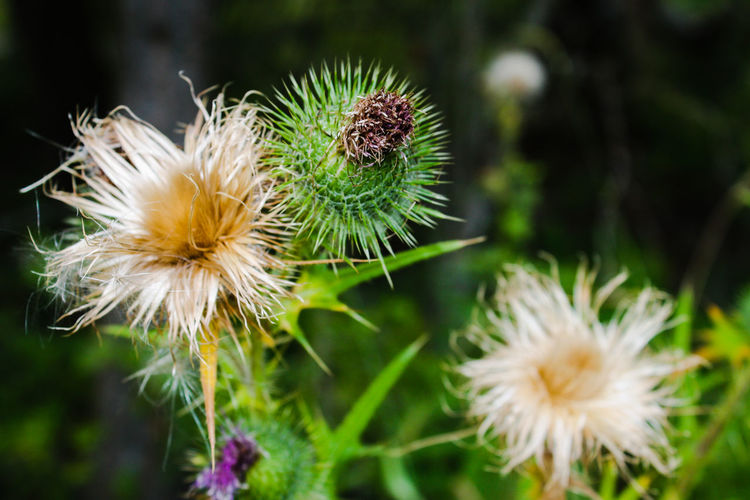 Close-up of thistle flowers and buds