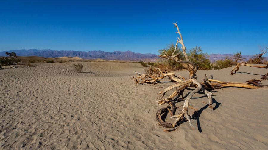 Dead tree on desert against clear blue sky