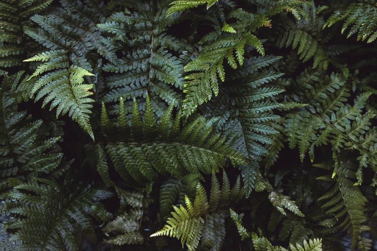 Growth Full Frame No People Plant Fern Green Color Backgrounds Close-up Tree Nature Beauty In Nature Leaf Day Plant Part Tranquility Pine Tree Outdoors Pattern Branch Forest Needle - Plant Part Coniferous Tree Fir Tree Wallpaper Background Tropical