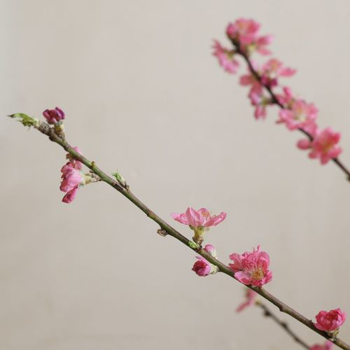 peach blossom Indoors  Flower Growth Fragility Peach Blossom Pink Color Beauty In Nature Branch Blossom Nature Day Japan