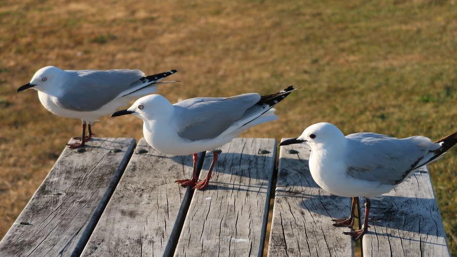 Seagulls perching on wood