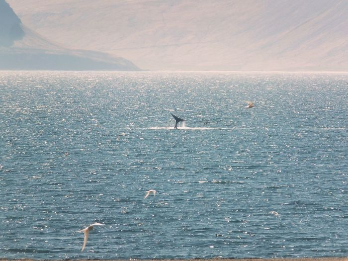 Just a wale playing in the fjords Wale Tail Wale Water Animals In The Wild Sea Animal Wildlife Beauty In Nature Scenics - Nature Nature Bird Waterfront Day Outdoors Travel