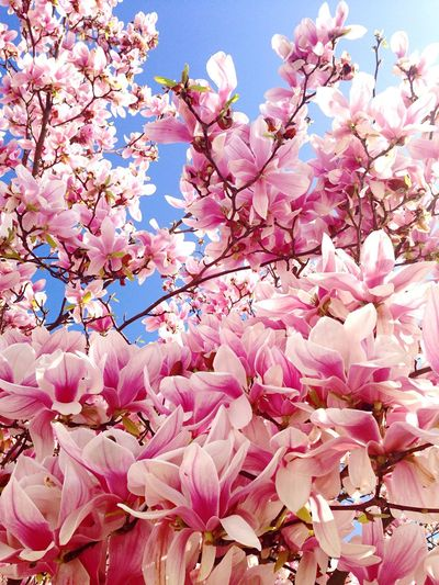 Magnolia Fiori Flower Pink Color Beauty In Nature Branch Blue Freshness Sky Growth Nature Tree Springtime Fragility Blossom Outdoors EyeEm Best Shots Beauty In Nature Italy