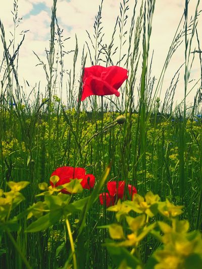 Nature Flowers Green Grass Red Popy Photography