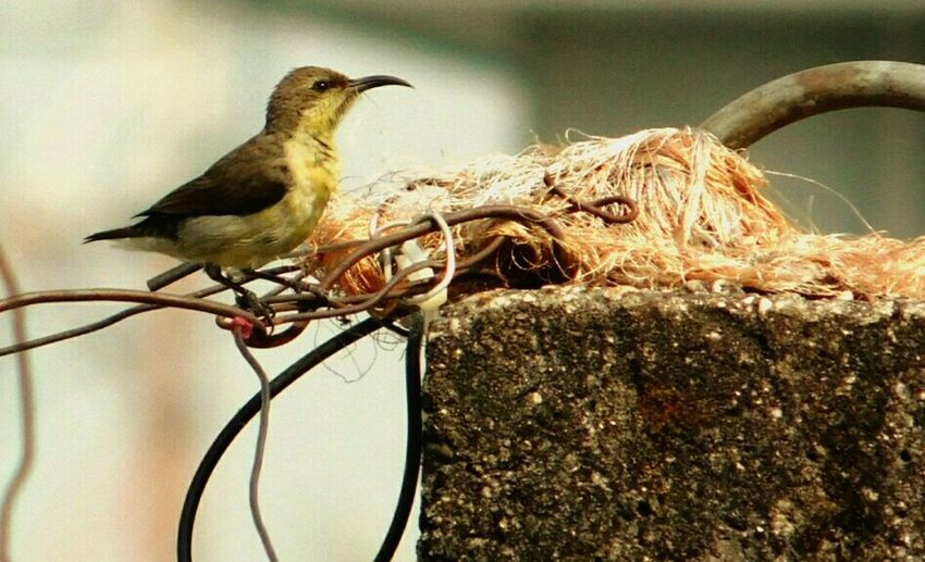 Purple Sunird Female Busy Day Bird Animal Wildlife No People Outdoors Nature Day Collection For Nest Planing The Future