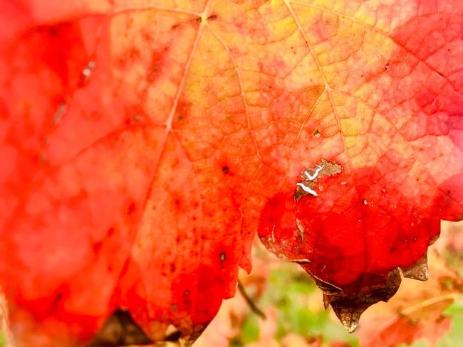 Red leaf of vineyard Vineyard Macro Red Close-up Plant Part Leaf No People Nature Plant Autumn Beauty In Nature