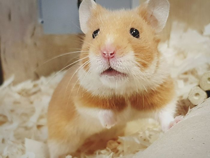 Close-up One Animal Whisker No People Animal Themes Mammal Indoors  Hamster Pet Animal