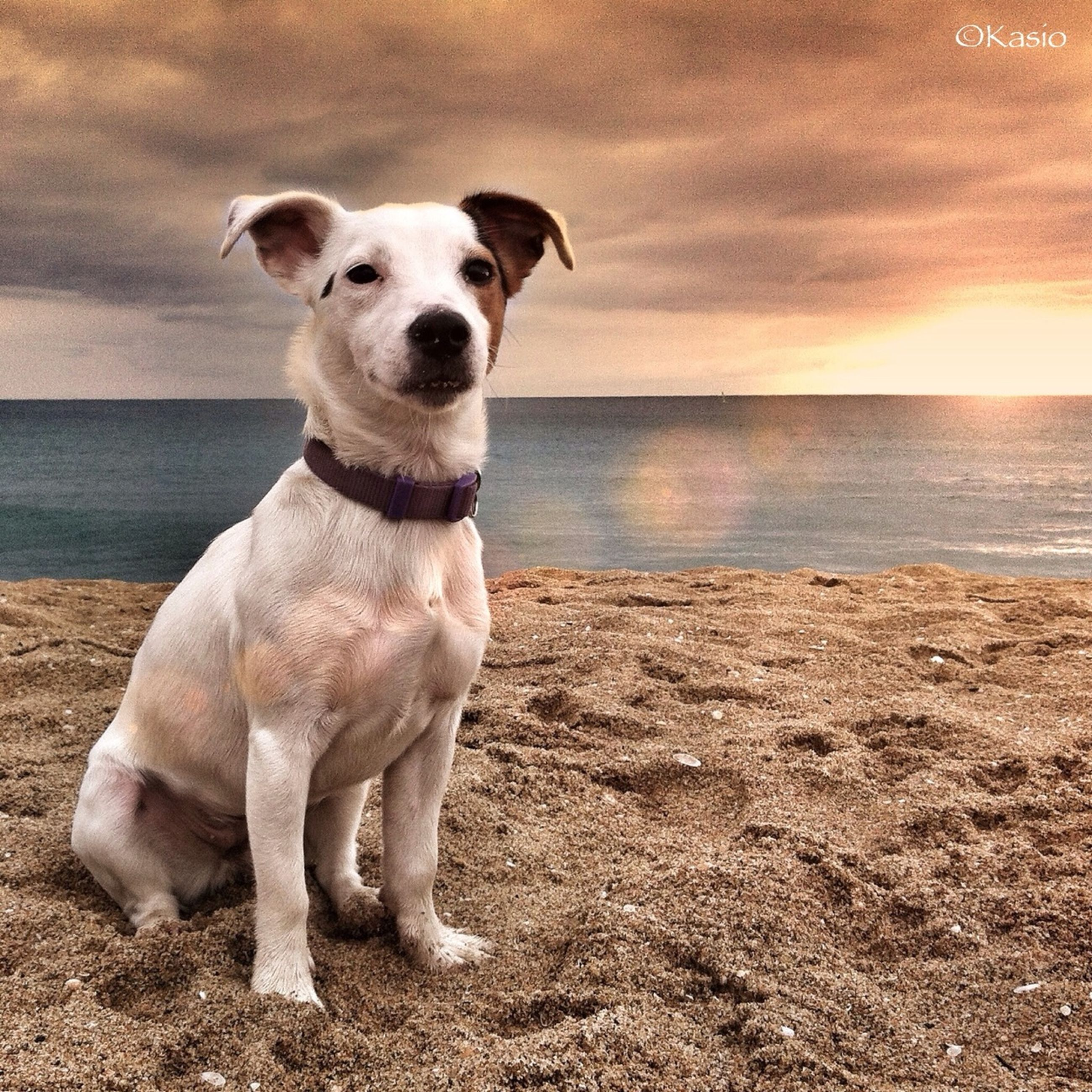 dog, domestic animals, animal themes, mammal, one animal, pets, beach, sea, horizon over water, sky, water, shore, sunset, full length, sand, standing, nature, sunlight, tranquil scene, sitting