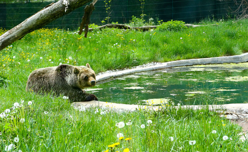 Bear EyeEm Best Shots EyeEmNewHere Life Nature Nature Photography Animal Animal Themes Animal Wildlife Animali Animals In The Wild Bear Beauty In Nature Day Field Grass Green Color Growth Land Lifestyles Mammal Nature No People One Animal Outdoors Plant Vertebrate Water
