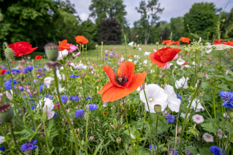 Close-up of poppy flowers on field