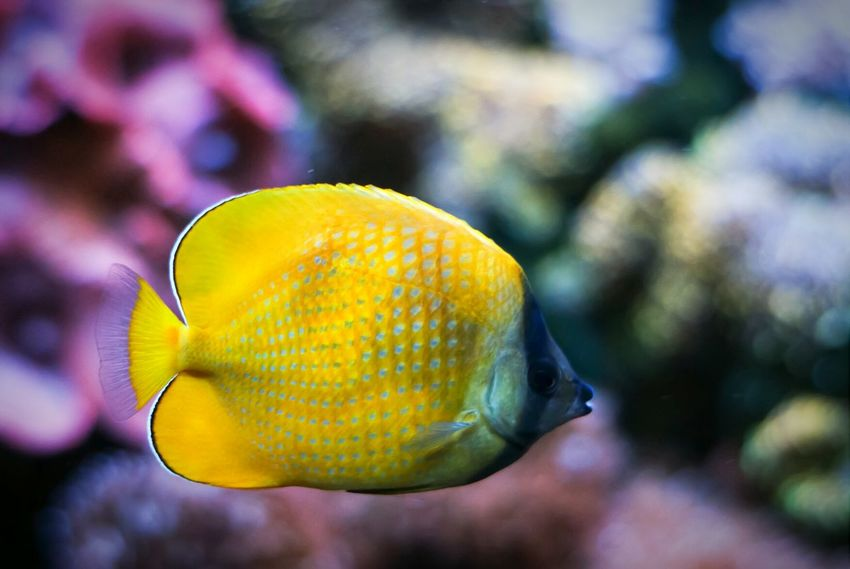 Dotted Butterflyfish Dotted Butterflyfish Fish Aquarium Theme Park Traveling Tampere Finland